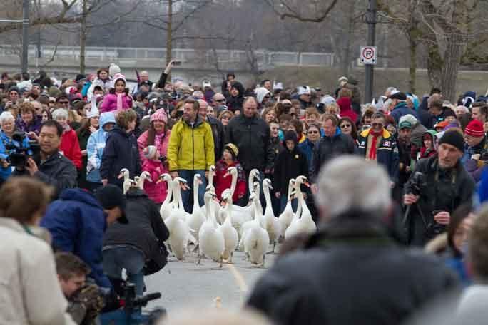 השבת הברבורים אל הטבע בסוף החורף - צילום: לשכת התיירות של סטראטפורד
