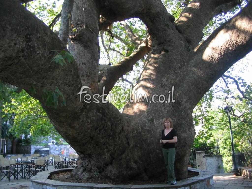 עץ הדולב הענק בכפר צנגרדה בחצי האי פיליון, יוון - צילום באדיבות: © CarniFest Online