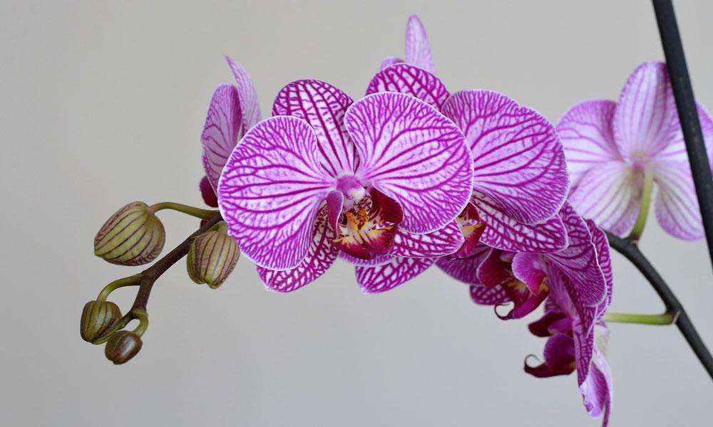 סחלב - צילום:  RÜŞTÜ-BOZKUŞ [Via-pixabay.com]